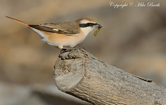 Turkestan Shrike (Lanius isabellinus phoenicuroides ) (www.mikebarthphotography.com 1M + Views thanks !) Tags: shrike lanius turkestan isabellinus phoenicuroides allofnatureswildlifelevel1 allofnatureswildlifelevel2 allofnatureswildlifelevel3 allofnatureswildlifelevel4 allofnatureswildlifelevel5 allofnatureswildlifelevel8 allofnatureswildlifelevel6