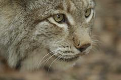 Lynx portrait (PimGMX) Tags: portrait cat los feline porträt predator captive portret lynx luchs roofdier anholterschweiz raubtier eurasianlynx lynxlynx euraziatischelynx eurasiatischerluchs eurasiatieserooikat