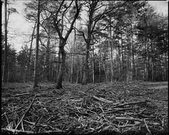Broken Pillars (derScheuch) Tags: wood trees bw mamiya film analog forest germany geotagged deutschland 50mm shanghai 180 200 mf analogue 6x7 rodinal wald bume oldenburg rz67 niedersachsen lowersaxony standdevelopment sekor gp3 wildenloh standentwicklunrg geo:lat=5312067067408292 geo:lon=811682486242671