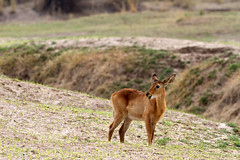 Female Puku (Wild Dogger) Tags: africa travel nature animals canon tiere wildlife urlaub natur safari afrika bovidae mammals zambia allrightsreserved herbivore 2011 sambia sugetier puku mfuwe pflanzenfresser kobusvardonii southluangwavalley canoneos7d thomasretterath canonef300lis28usm blinkagain copyrightthomasretterath