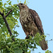 Common buzzard NottsWT (cpt Keith Harper)