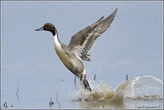 "Pintail Duck (20120312-0715) (Earl Reinink) Tags: ontario canada bird art nature birds photography landscapes duck nikon canadian niagara earl waterfowl bif pintail ""bird ""nikon ""niagara photography"" ""birds ""nature ontario"" ""landscape ""fine duck"" ""earl peninsula"" flight"" lenses"" d3"" d3s"" reinink"" ""pintail"