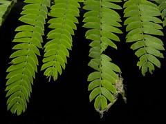 Enterolobium cyclocarpum (Jacq.) Griseb. (Reinaldo Aguilar) Tags: mimosaceae hojuelas enterolobiumcyclocarpum taxonomy:binomial=enterolobiumcyclocarpum