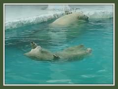 Chilling out (Vidya...) Tags: bear blue wild two white beautiful swimming back furry natural bangkok aquamarine stroke safari polar