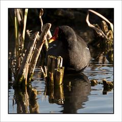 PruebaPajaros-32 (Jose Luis Durante Molina) Tags: naturaleza color nature birds animals pajaros animales pruebas impresion terminada cuadrada joseluisdurante