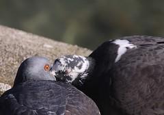 Pigeons / Strassentauben (Baubo Bittern) Tags: pigeon bodensee rockdove friedrichshafen badenwrttemberg lakeconstance columbaliviadomestica strassentaube haustaube