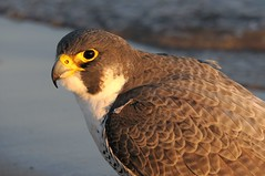 2012 Peregrine Falcon (Explore March 28, 2012) (DrLensCap) Tags: park chicago bird robert point illinois il raptor falcon lincoln montrose kramer sanctuary peregrine mygearandme mygearandmepremium flickrstruereflection1