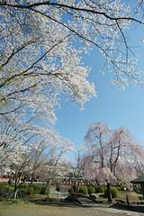 two types of the cherry (peaceful-jp-scenery) Tags: cherry spring shrine sony blossoms   fujisan mtfuji    hongu   sengentaisya dslra900 minoltaaf20mmf28new