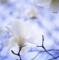 Magnolia (yocca) Tags: white flower film nature topf25 closeup t spring flora dof kodak bokeh 100v10f hasselblad magnolia botanic ektachrome 2012 fff 500cm carlzeiss  e100g plannar magnoliaheptapeta   mar2012