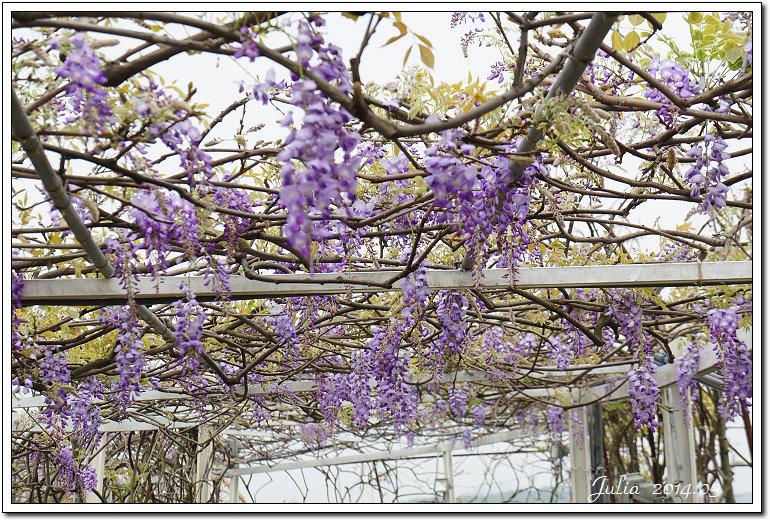 紫藤、老梅 (31)