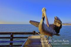 Pelican (LensLord) Tags: ocean bird animal fauna jack pier pelican foster oceanside mancilla ijakmaccom lenslord thelenslord