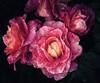 Rose Petals ( Redux ) (-william) Tags: roses petals sliderssunday