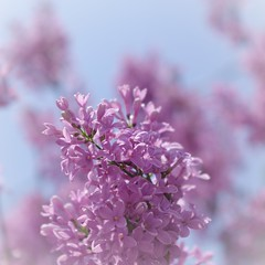 Happy Mother's Day (michael.veltman) Tags: flowers love beautiful happy day peace purple you happiness appreciation mothers thank gratitude