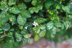 IMG_9670.jpg (Idiot frog) Tags: camping flower tree green leaves canon eos petals blossom seasonal hsinchu shutterstock 5d2 5dmk2