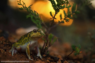 The sunset emergence of a burrower..