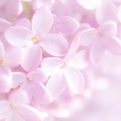 Lilac (paulapics2) Tags: pink nature garden spring pretty lilac canon5d shrub printemps gentle frhling syringavulgaris commonlilac sugarpink