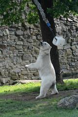 EisbrAkiak im Ouwehands Dierenpark Rhenen (Ulli J.) Tags: netherlands zoo utrecht nederland polarbear paysbas ijsbeer rhenen niederlande eisbr ouwehandsdierenpark isbjrn ourspolaire nederlandene