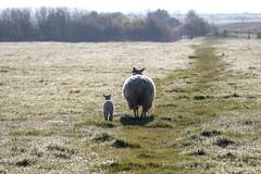 Me and my mum.. (JJ 349) Tags: lamb ewe