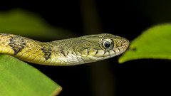 Triangle Keelback (Xenochrophis trianguligerus).? (zleng) Tags: macro nature closeup snake macroshot herp watersnake macrophotography naturecloseup herping macrodreams