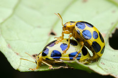 beetle mating... (zaidirazak) Tags: macro nature wildlife insects malaysia sabah zaidirazak