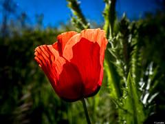 Brindis al Sol (Luicabe) Tags: naturaleza planta exterior flor luis botnica zamora cabello vegetacin hierba airelibre amapola cieloazul macrofotografia yarat1 enazamorado luicabe profundidaaddecampo