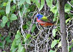 Painted Bunting male (~ Bron ~) Tags: bird birds bron bunting paintedbunting passerinaciris birdsoftexas birdsofnorthtexas praslicka bronpraslicka