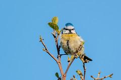 Blue Tit (cyanistes caeruleus) (phat5toe) Tags: nature birds nikon wildlife feathers bluetit avian wigan flashes d300 cyanistescaeruleus greenheart sigma150500