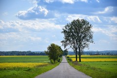 landscape with canola (JoannaRB2009) Tags: road blue trees sky cold green nature weather yellow clouds landscape countryside view path poland polska windy fields canola lodzkie dzkie jew popie