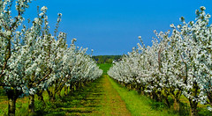 Blooming cherry trees - Blhende Kirschbume (Kat-i) Tags: blue trees white green nature bayern deutschland spring natur orchard grn blau kati bume katharina 2016 bloomingtrees frhjahr kirschbume weis kirschblten adlkofen obstplantage nikon1v1