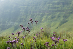 They called it Lavender! (endawati) Tags: mountain flower indonesia outdoor mtbromo eastjava