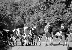 Plouguin rural scene (patrick_milan) Tags: road street people blackandwhite bw white black monochrome rural cow noir noiretblanc country quad nb route rue campagne blanc personne streetview gens vache plouguin