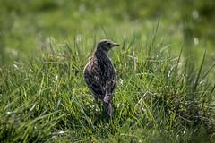 Meadow Pipit 2 (tony143) Tags: birds landscape feeding grassland habitat moorland meadowpipit