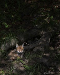 Renardeau (Romain BRUOT Photographies) Tags: nature animal fox animaux renard animalier goupil affut