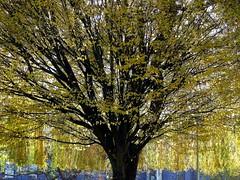 Golden locks (fotosforfun2) Tags: autumn tree nature yellow branches panasonic treetrunk fz38