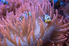 Nemo (fil.nove) Tags: camera blue italy water canon aquarium 1 italia nemo blu liguria genoa genova porto anemone di acqua antico metropolitana acquario compact sensor citt italiano pesce pagliaccio comune ocellaris acquatico amphiprion g7x sensore compatta