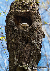 Baby Barred Owl (Anne Marie Fraser) Tags: baby tree cute nature wildlife owl barred