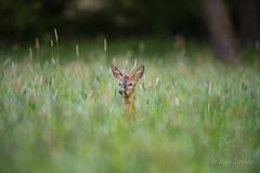 Hide and Seek (raytaylor77) Tags: nature feeding wildlife deer hidding longgrass