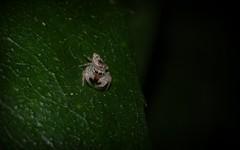 Tara anomala (dustaway) Tags: nature rainforest australia nsw arthropoda rotarypark arachnida lismore araneae jumpingspiders salticidae araneomorphae australianspiders northernrivers taraanomala