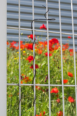 Cage  coquelicots (Jean G68) Tags: grillage k3 clture coquelicots pentaxfa12850mmmacro