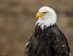 Ruffled Feathers (T0nyJ0yce) Tags: wild birds eagle wildlife baldeagle feathers raptor majestic westcoast pnw regal haliaeetusleucocephalus birdofprey americanbaldeagle