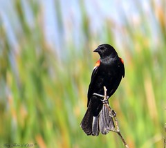 Red-winged Blackbird (Gary Helm) Tags: red usa black nature water animal yellow outside fly us image florida outdoor wildlife flight feathers powershot photograph perched orangecounty redwingedblackbird sx50hs ghelm4747 garyhelm lakeapopkawildlifedrive