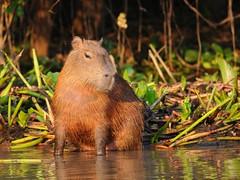 Capivara / Capybara (anacm.silva) Tags: wild brazil naturaleza nature brasil mammal wildlife natureza pantanal capybara capivara riopixaim riverpixaim