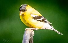 Bird, American goldfinch DSC_9044 chardonneret jaune (Nicole Nicky) Tags: bird nature yellow jaune quebec outdoor finch oiseau americangoldfinch dehors chardonneret
