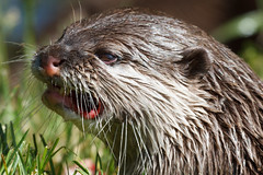 Did someone say it was Monday? (greenzowie) Tags: animal june mammal zoo edinburgh otter edinburghzoo 2016 photographyworkshop greenzowie