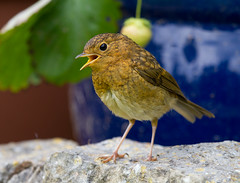 Baby Robin Singing (Mukumbura) Tags: baby robin bird fledgling young robinredbreast europeanrobin erithacusrubecula garden nature strawberry plant pot britain