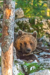 Brown bear 10 - Slovenia (Sinar84 - www.captures.ch) Tags: 2016 animal bear black blue brown brownbear cliff europa juni karst kocevska notranjska notranjskaregionalpark orange red rock slovenia slovenianbearscom summer trees white