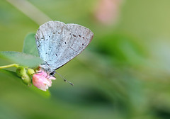 Holly Blue! (RiverCrouchWalker) Tags: celastrinaargiolus hollyblue butterfly insect invertebrate feeding woodhamfen southwoodhamferrers essex june summer 2016 essexwildlifetrust