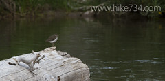 """Spotted Sandpiper • <a style=""""font-size:0.8em;"""" href=""""http://www.flickr.com/photos/63501323@N07/6775218608/"""" target=""""_blank"""">View on Flickr</a>"""