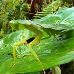 Shield Mantis, Choeradodis rhomboidea thumbnail