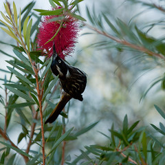 New Holland Honeyeater & Bottle Brush (jane.garratt) Tags: summer bird bokeh bottlebrush february squarecrop 2012 newhollandhoneyeater australianflora callistomen australianfauna canoneos450d rememberingtoby canonef70200mmf28lisiiusm 112in2012